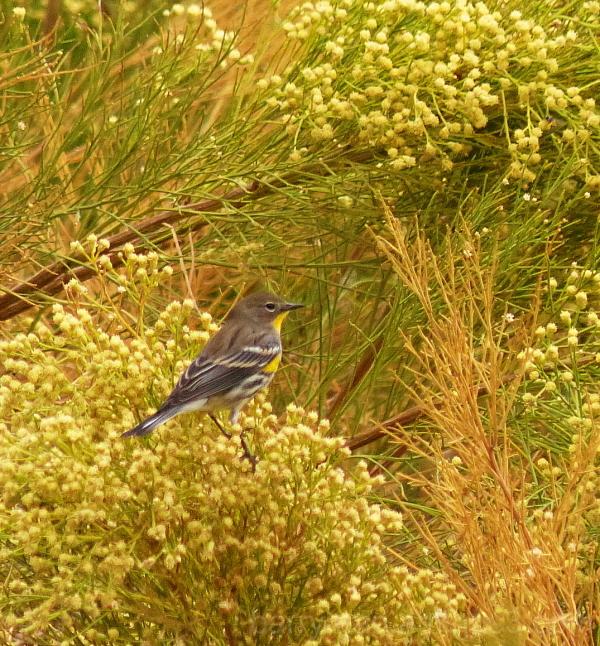 bird yellow-rumped warbler