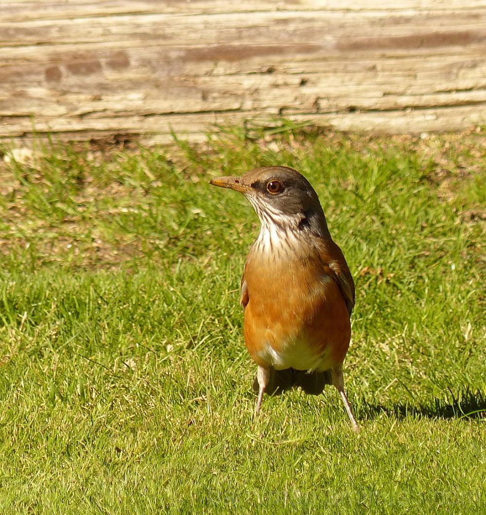 Vagrant bird rufous-backed robin chiriaco summit