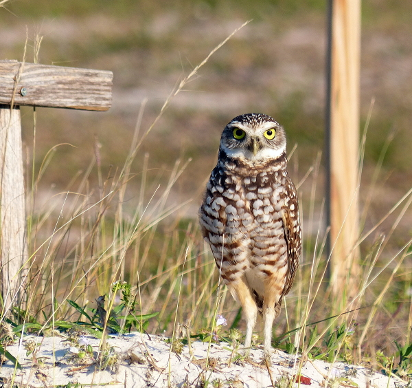 bird Burrowing owl florida
