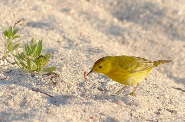 bird yellow warbler galapagos