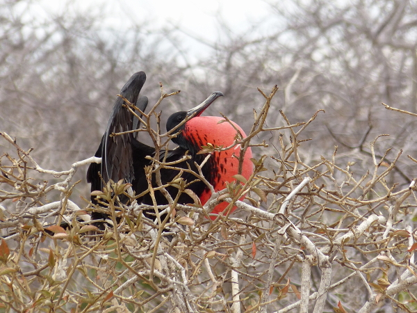 magnificent frigatebird mating display galapagos