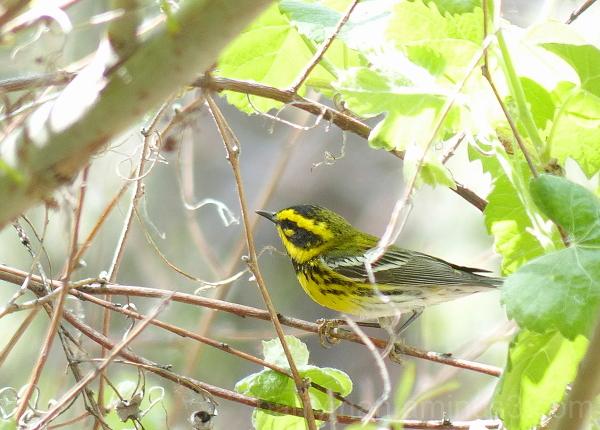 Townsend's warbler bird