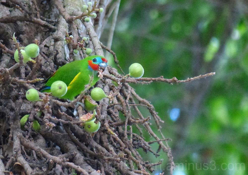 double-eyed fig-parrot bird queensland
