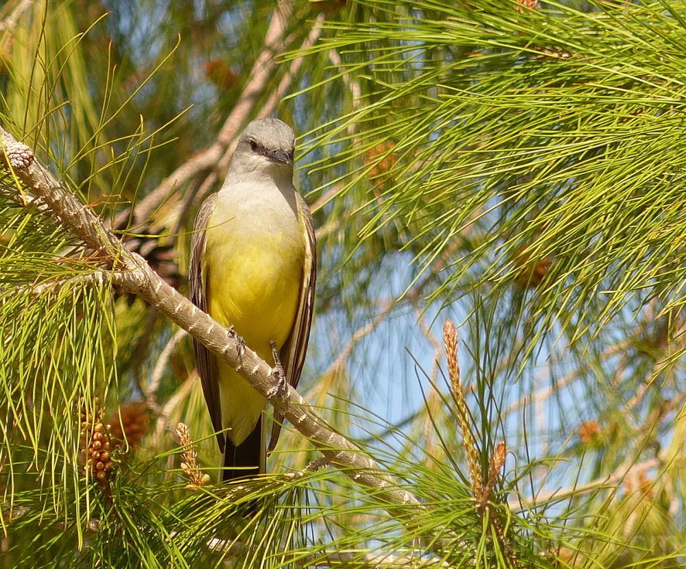bird western kingbird
