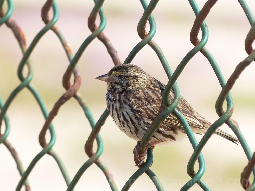 bird savannah sparrow beldings's subspecies