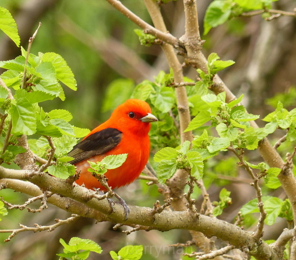 scarlet tanager bird