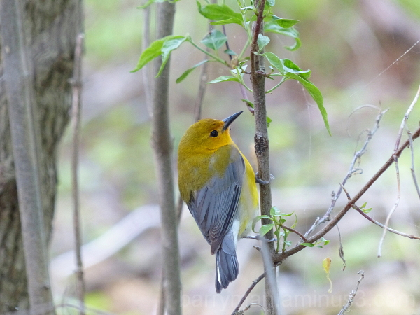 Prothonotory Warbler