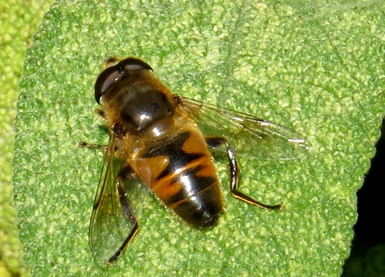 A Hoverless Hoverfly ...