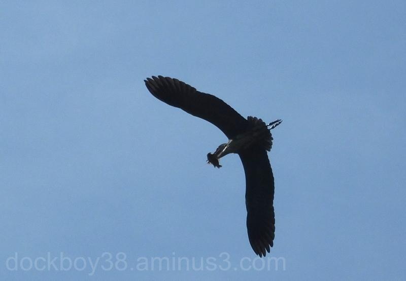 The Hungry Heron .5.