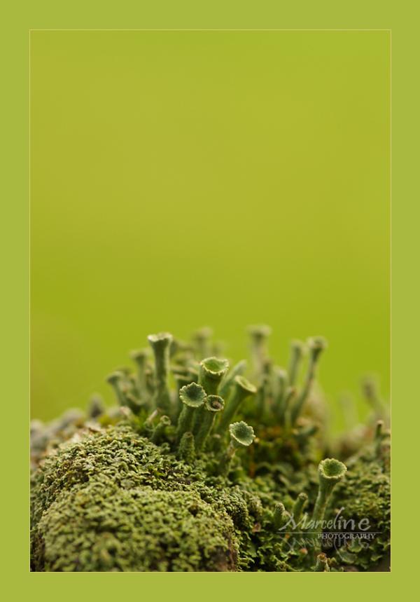 lichen sur mousse, cladonia