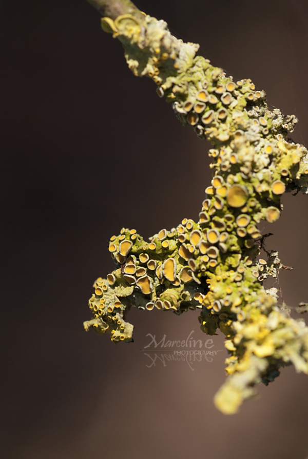 lichen sur branche arbre