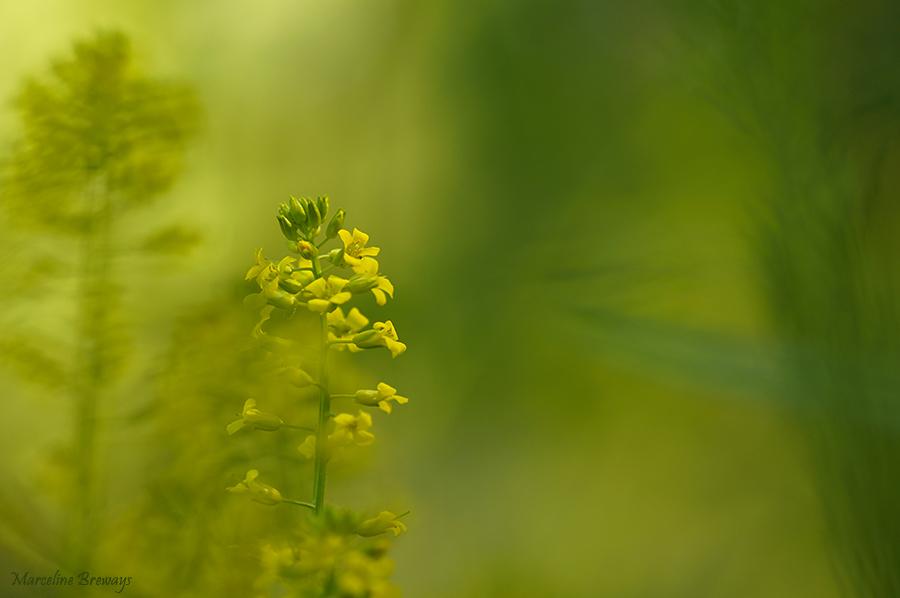 fleur de moutarde des champs