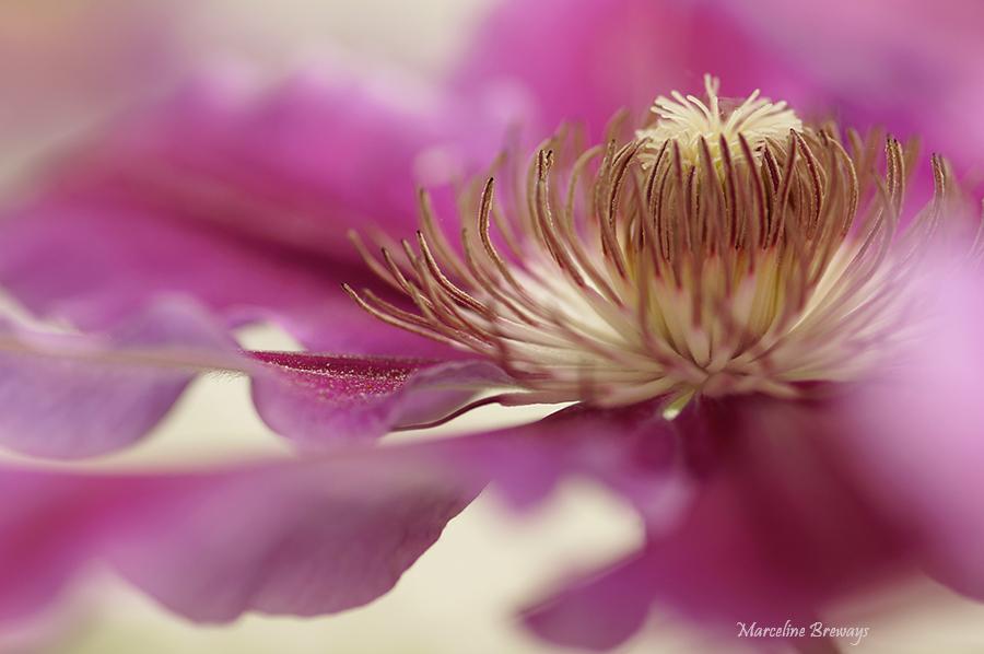 floraison de clématite