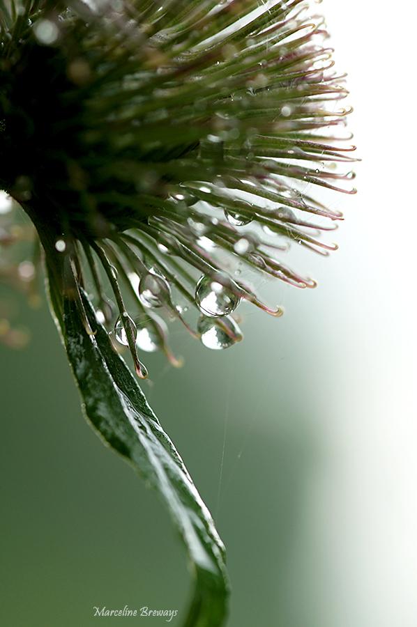 bardane sous la pluie