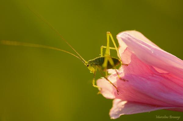 sauterelle sur fleur de mauve