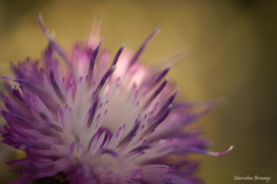 centaurée en fleur