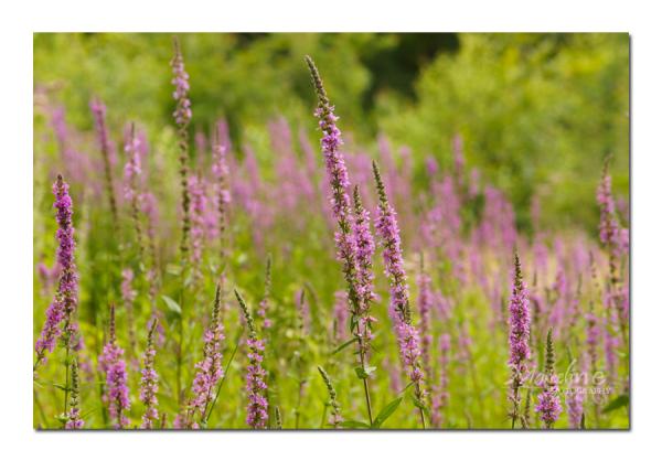 salicaire en fleurs