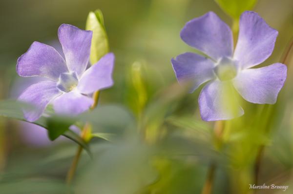 fleur de  pervenche