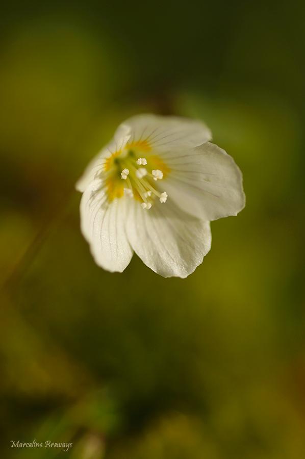 fleur d'oxalis