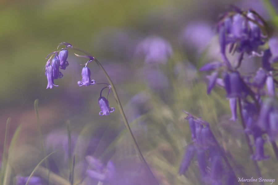 jacinthe dans le bois