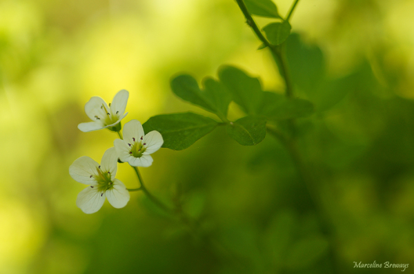 couleur cardamine