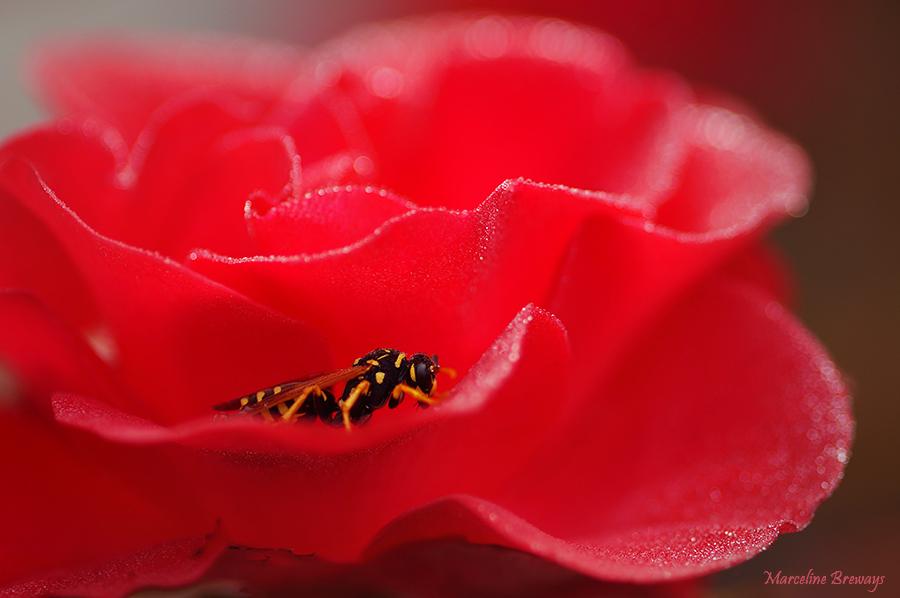 guêpe dans une rose