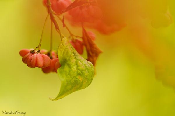 fruit du fusain