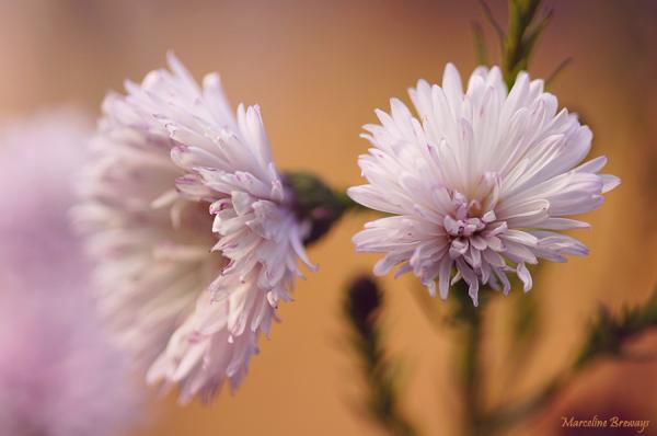 asters en fleurs