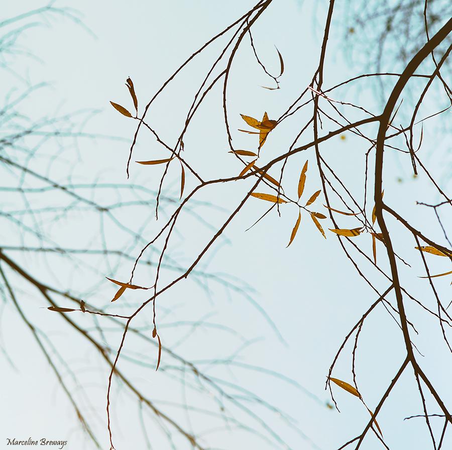 saule en automne
