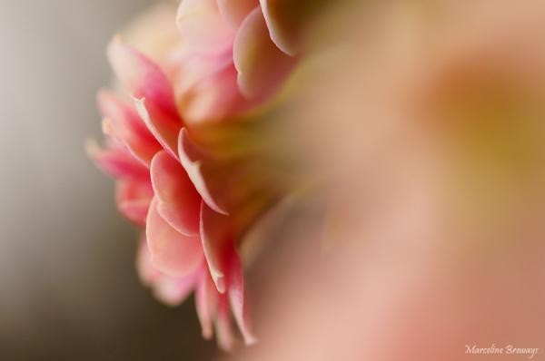 fleur de kalanchoe