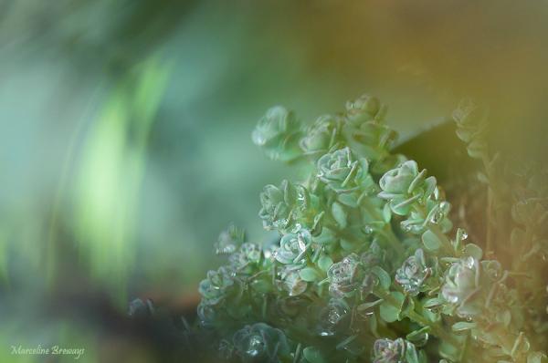 sedum et pluie
