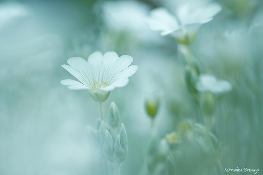 fleur de ceraiste
