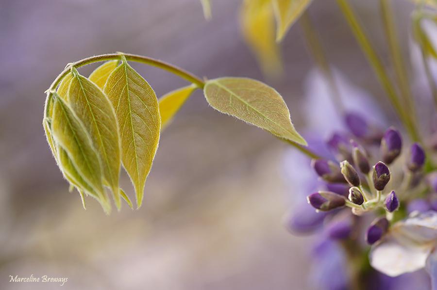fleur de glycine