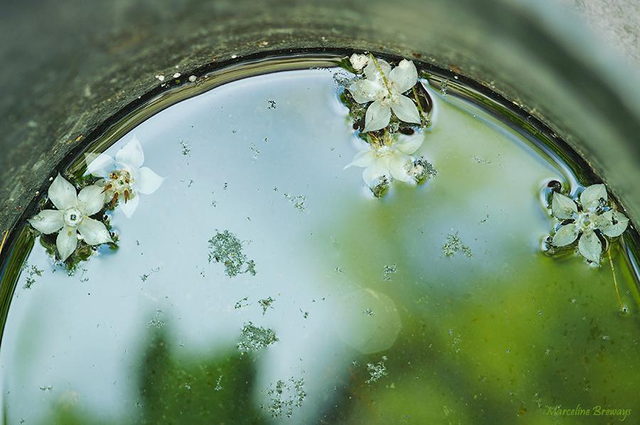fleur bourrache