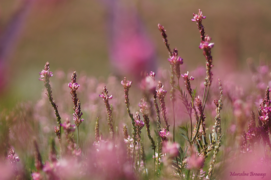 fleur de sainfoin