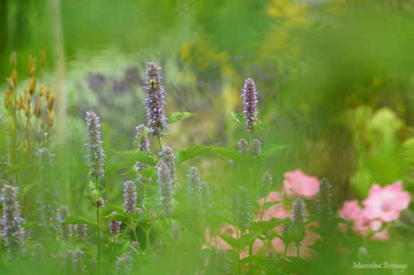 fleurs d'hysope