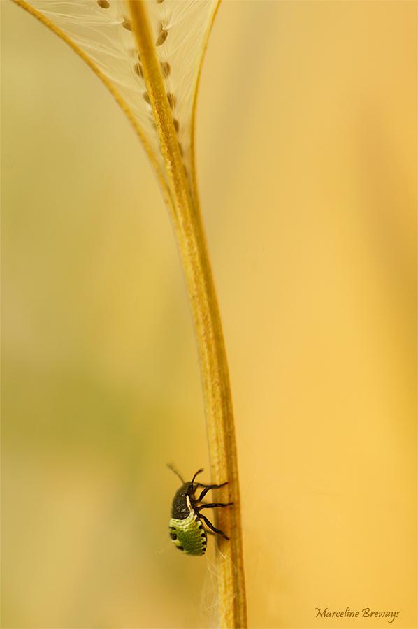 insecte sur ombelle