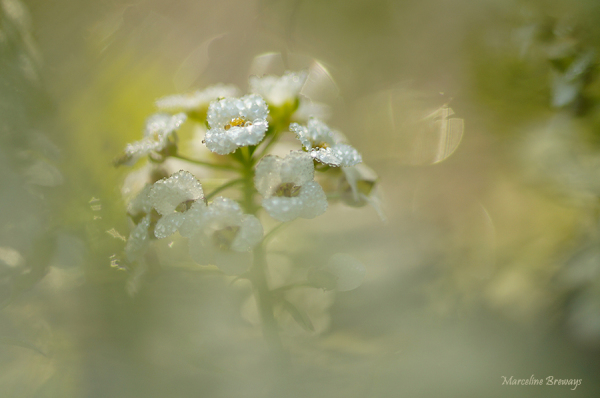 fleur d'alysse