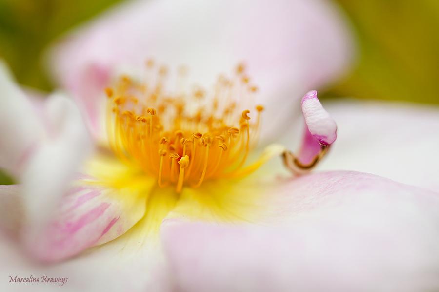 fleur d'églantier