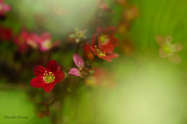 saxifrage rouge
