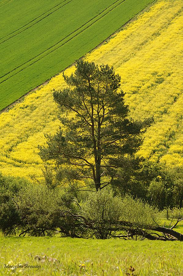 jaune colza