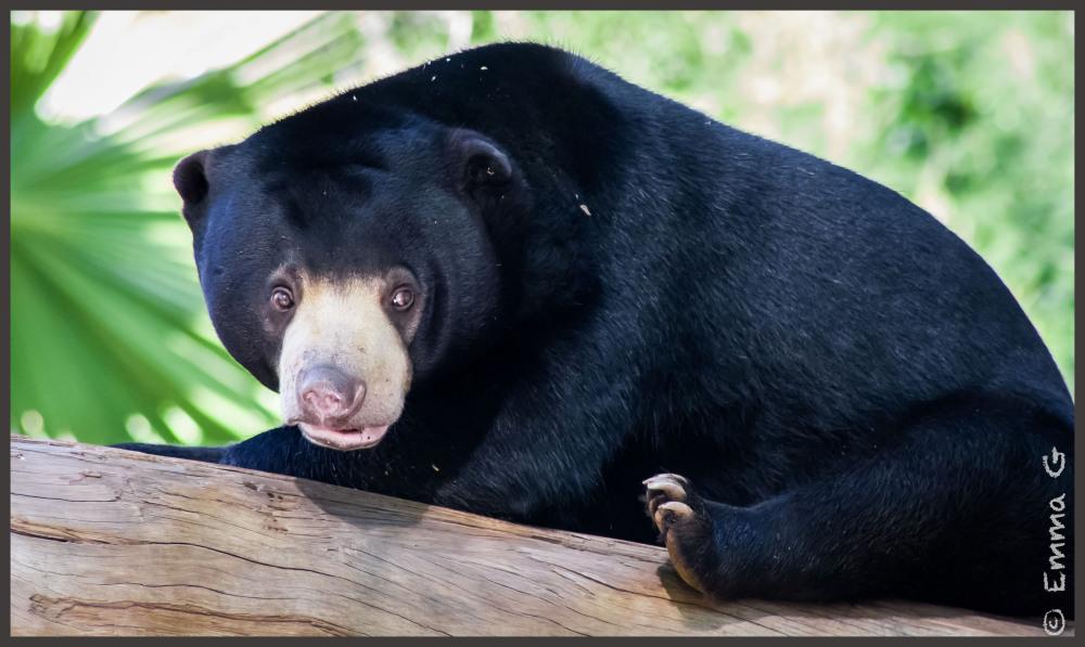 Canberra Zoo Sun Bear