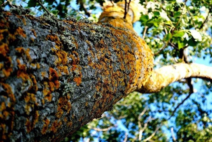 the singular tree