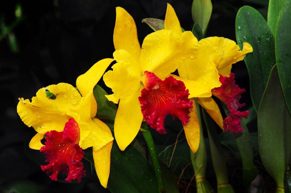Orchids - Cattleyas