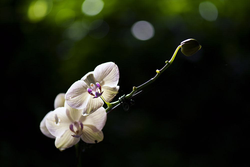 Spray of White Orchids