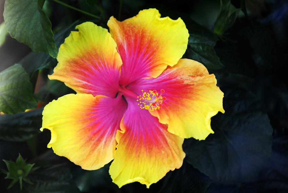 Hibiscus #1
