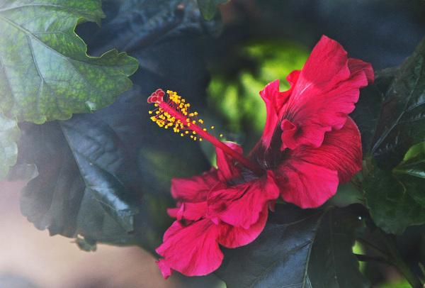 Hibiscus #6
