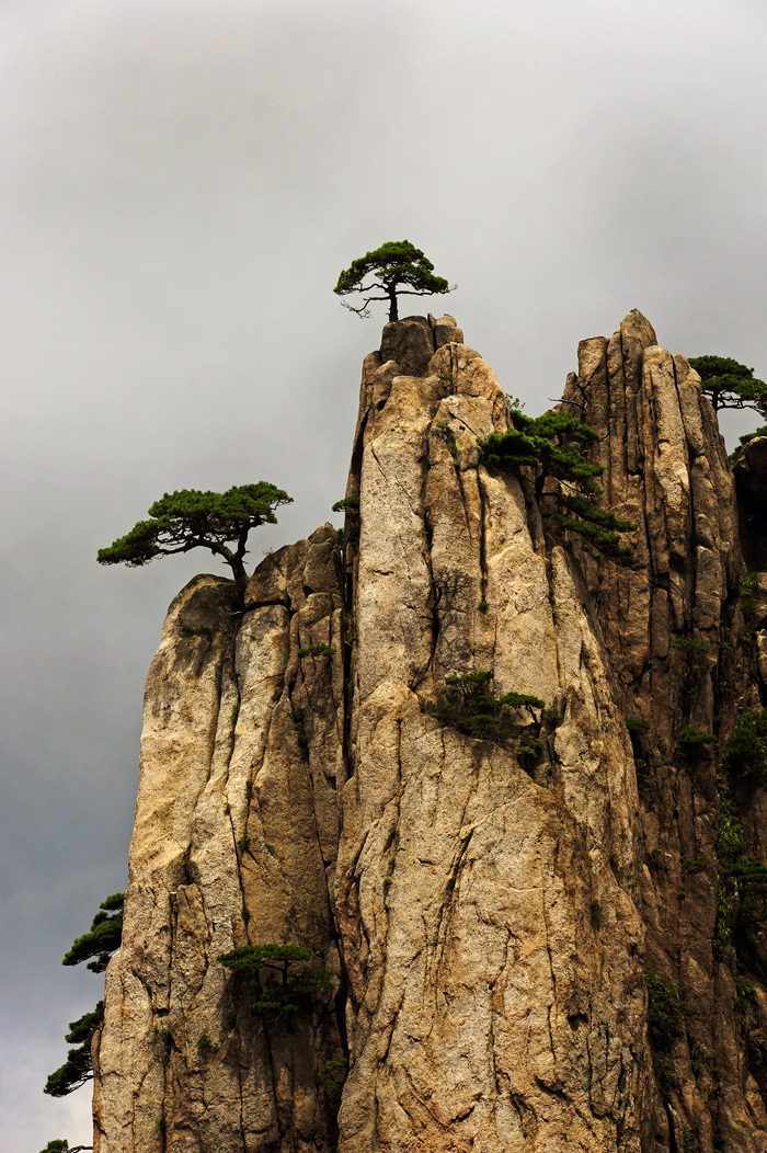 Pines of Huangshan #6