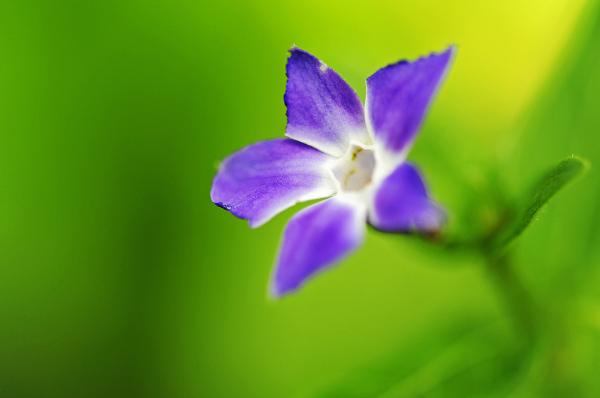 A Violet Flower