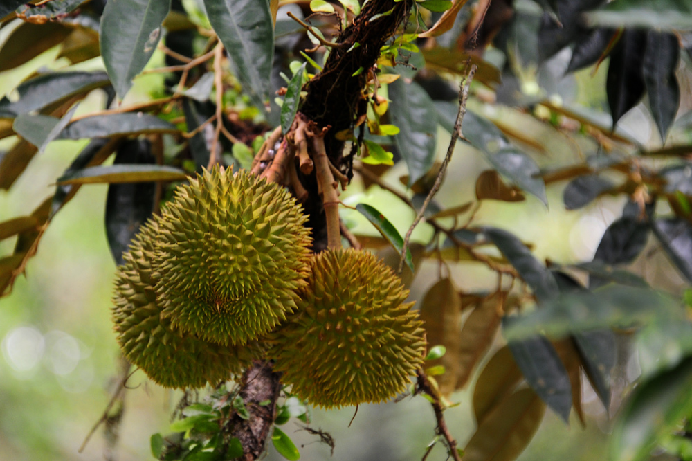 Durians on the Tree